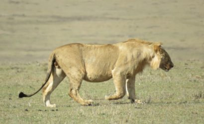 lion at masai mara