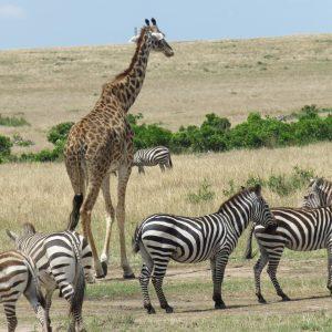 animals at masai mara
