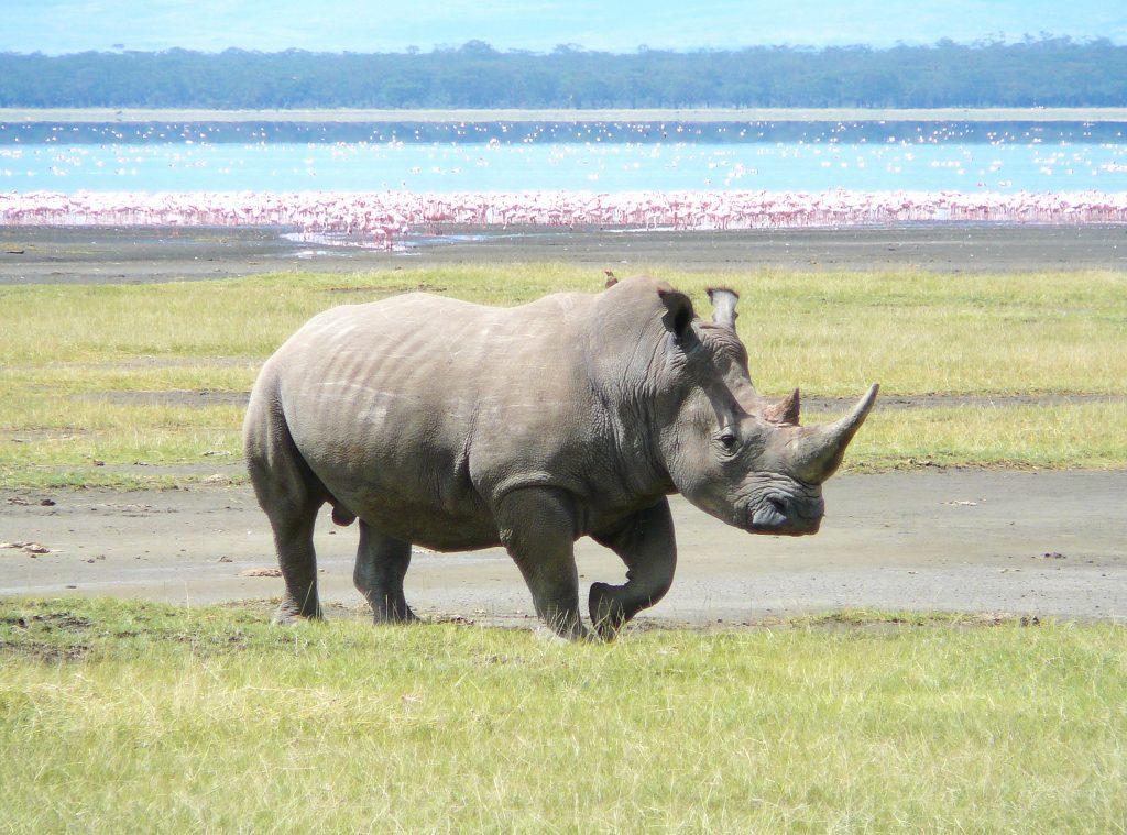 rhino at lake nakuru national park