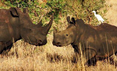 Rhinos at ol pejeta conservancy