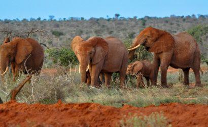 elephants in Tsavo east africa