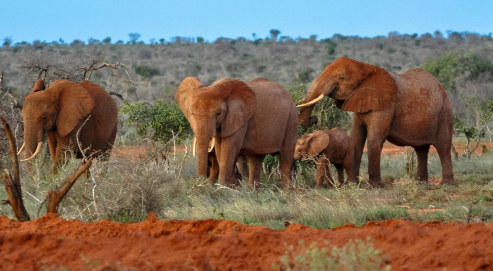 elephants in Tsavo east africa
