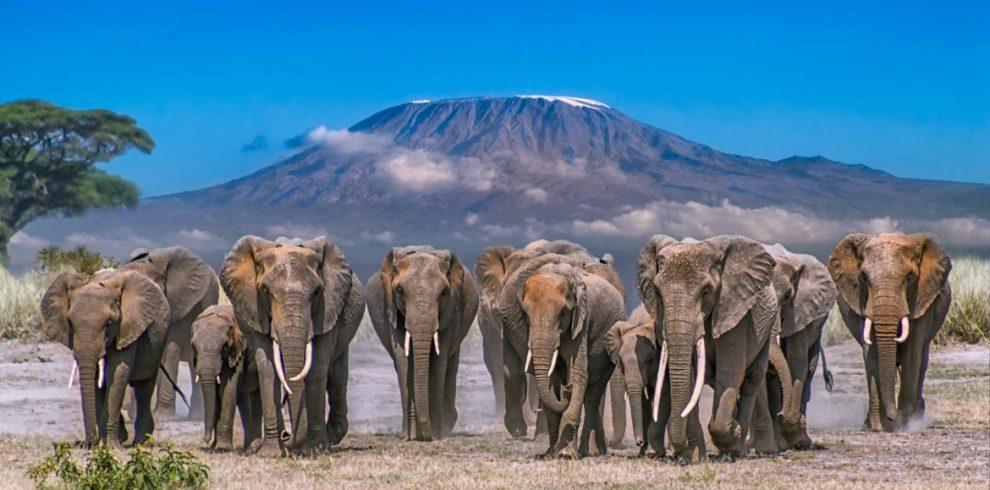 amboseli-elephants-990×490