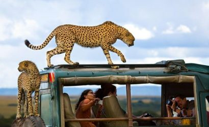 cheetahs on african safari