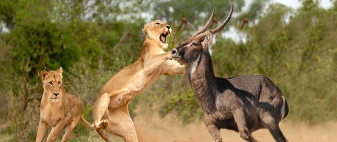 lion hunting at samburu