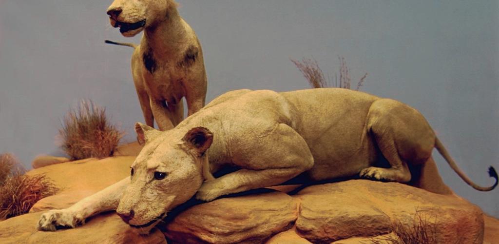 tsavo lions_0