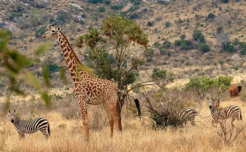 Giraffe in african safari